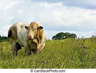 White bull grazing in a wild meadow with moody blue skys -...