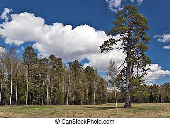 Landscape with a pine-tree - Spring in the park with a big...