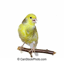 Yellow canary, Serinus canaria isolated on white background