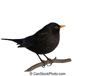 Eurasian Blackbird, Turdus merula isolated on white...