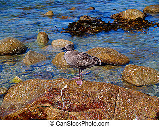 Juvenile Western Gull - Juvenile Western Seagull standing on...