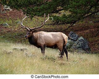 Elk Licking Lips