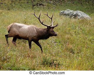 Elk Walking - Male elk in Rocky Mountain National Park,...