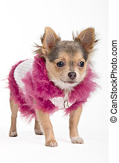 Chihuahua in a jacket