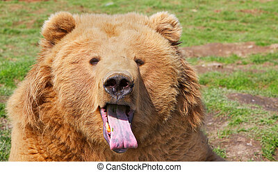 Brown Bear Tongue - Brown bear head with mouth open and pink...