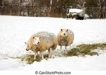 Sheeps in the snow on a meadow in the Netherlands