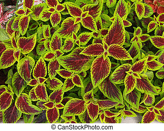 Red and Green Coleus - Close-up of red and green coleus.