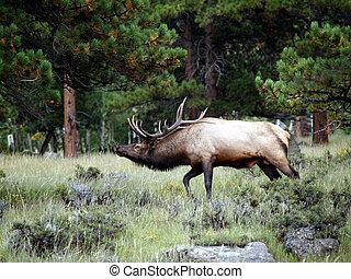 Walking Elk