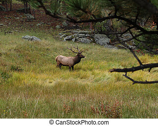 Elk with tongue out