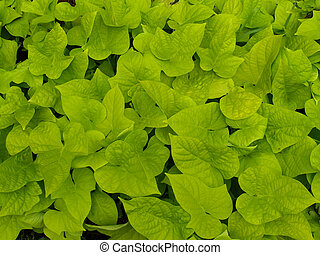 Sweet Potato Vine - Ornamental sweet potato vine used to...