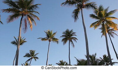 Group of golden palm trees. - Looking up at group of sunlit...