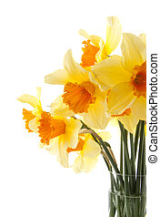 Yellow with orange daffodil flowers over white background