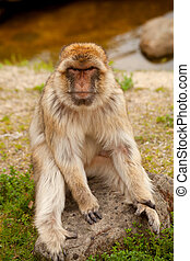 Barbary ape - portrait of Barbary ape in closeup