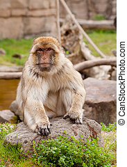 Barbary ape - portrait of Barbary ape in nature