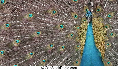 Peacock displaying his colorful feathered tail.