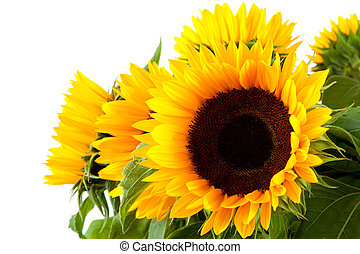 beautiful sunflowers in closeup over white background