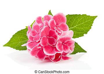 pink hydrangea flower - beautiful pink hydrangea flower...