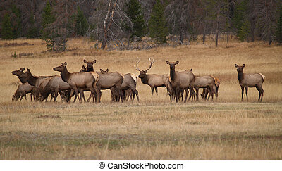Bull Elk and His Harem - Bull elk and his harem in Colorado