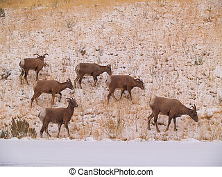 Wild Goats - Wild goats grazing in the snow in Wyoming.