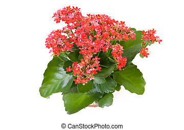 pink kalanchoe plant - pink kalanchoe flower plant isolated...