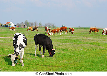 farm with cows in pasture