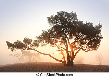 Pine-tree at sunrise - sunrise behind a pine-tree in the...
