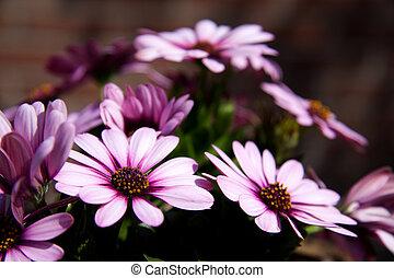 pink daisy in sunshine