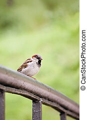 Sparrow Bird Passer domesticus On Bridge Rail Closeup -...
