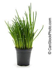 pot with chives - black pot with fresh chives isolated on...