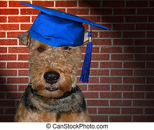Smart Terrier - Welsh terrier wearing graduation cap