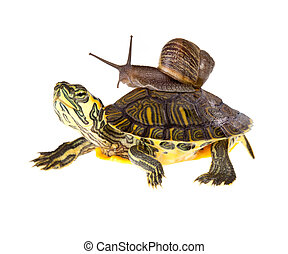 Lazy snail lift on turtle - Funny garden snail taking a lift...