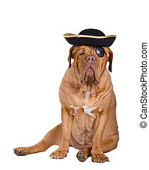 Pirate dog with black and gold hat and eye patch - Dogue de...