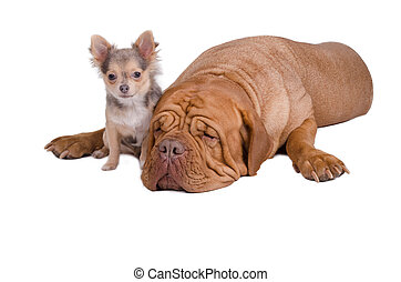 Big and small dogs together - Sleepy big dogue de bordeaux...