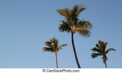 Three palm trees. - Palm trees in golden morning light....