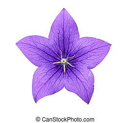 blåklocka, blomma