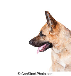 German shepard dog portrait on white background for design