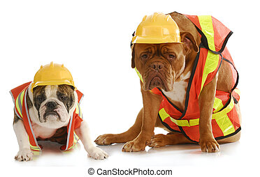 working dogs - english bulldog and dogue de bordeaux dressed...