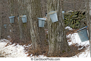 Sugar Maple trees with sap buckets - A row of several sugar...