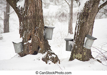 Maple sap buckets on trees - Several buckets are shown...