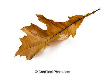 One brown autumn leaf over white background