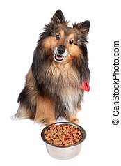 Dog sitting with food bowl - Shetland Sheepdod better known...