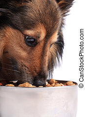 Dog eating food from a bowl - Shetland Sheepdod better known...
