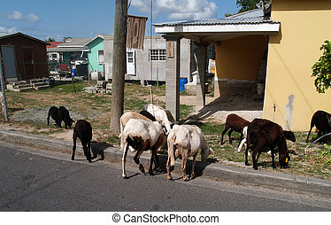 Sheep Roaming Antigua Neighborhood