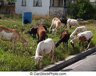 Sheep Roaming Antigua Neighborhood - Sheep roaming the...