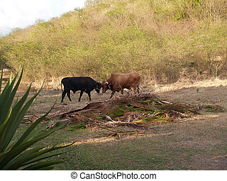 Fighting Bulls in Antigua Barbuda