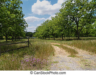 Mature Pecan Grove in South Georgia - Road through a mature...