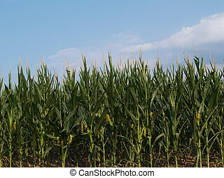 Rows of Young Corn Stalks - Rows of young corn stalks...