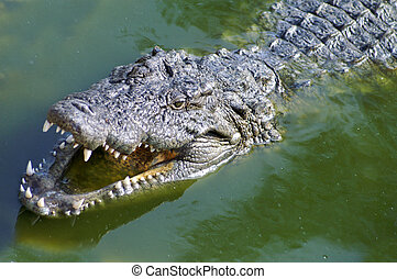 Nil Alligator - Alligator hunting in the rivers of Africa