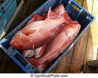 Red Snapper in a Blue Crate - A days catch of large red...