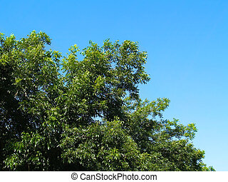 Top Branches of a Pecan Tree - Top branches of a pecan tree...